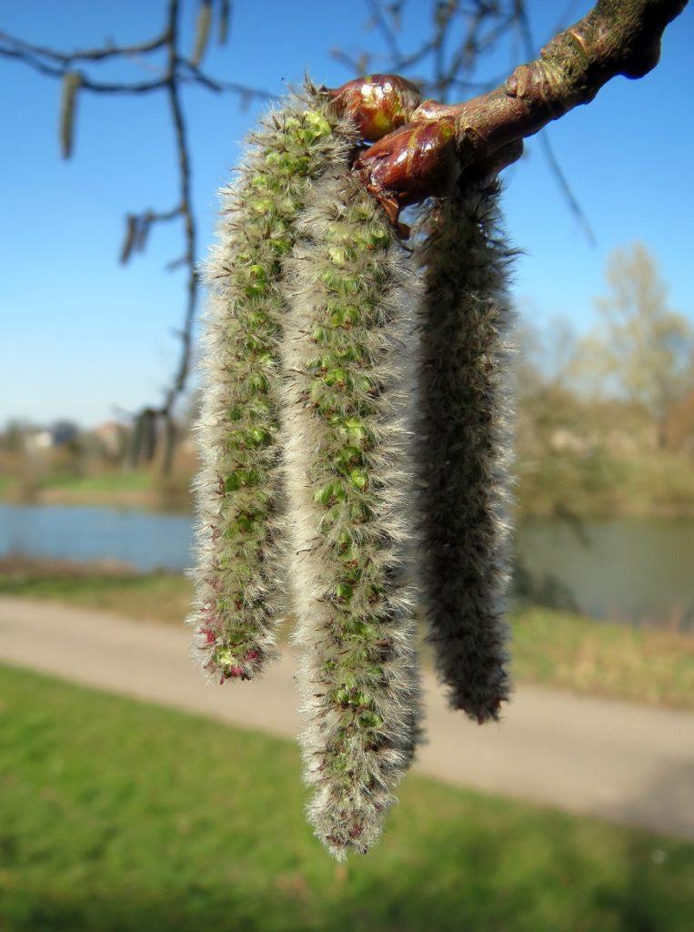 fleurs de bach tremble aspen