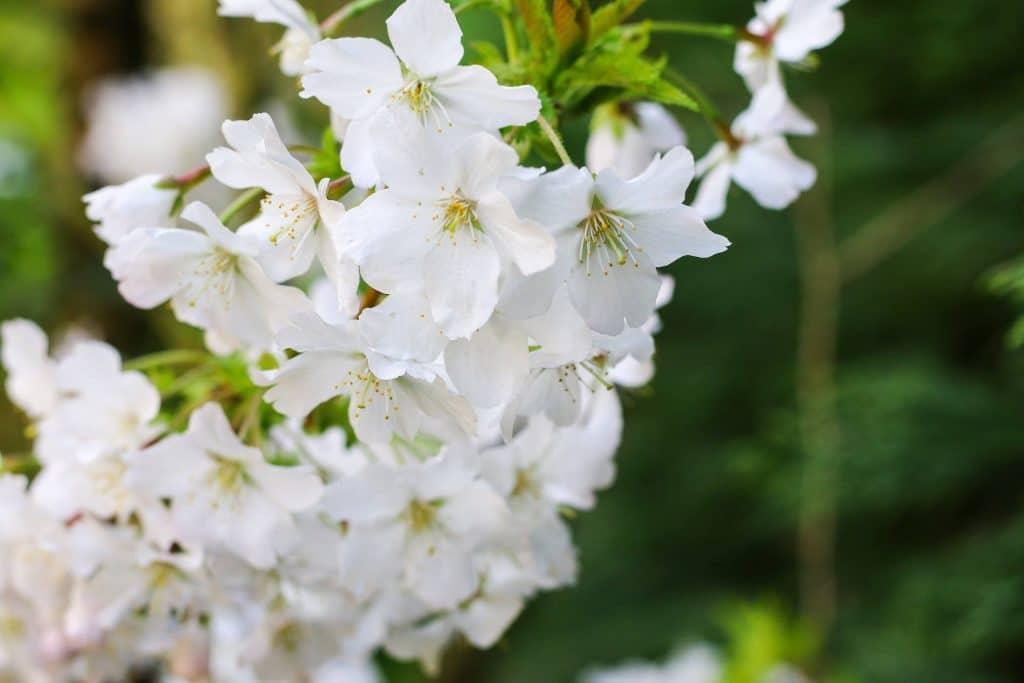 fleurs de bach cherry plum