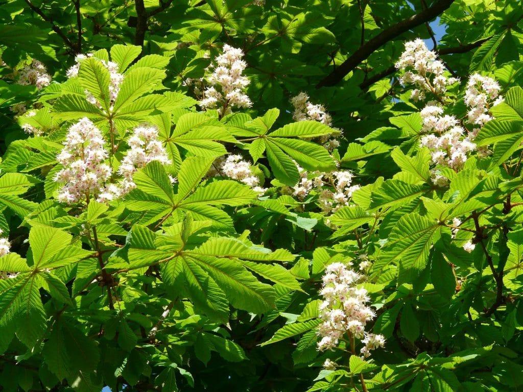 fleurs de bach marronnier blanc