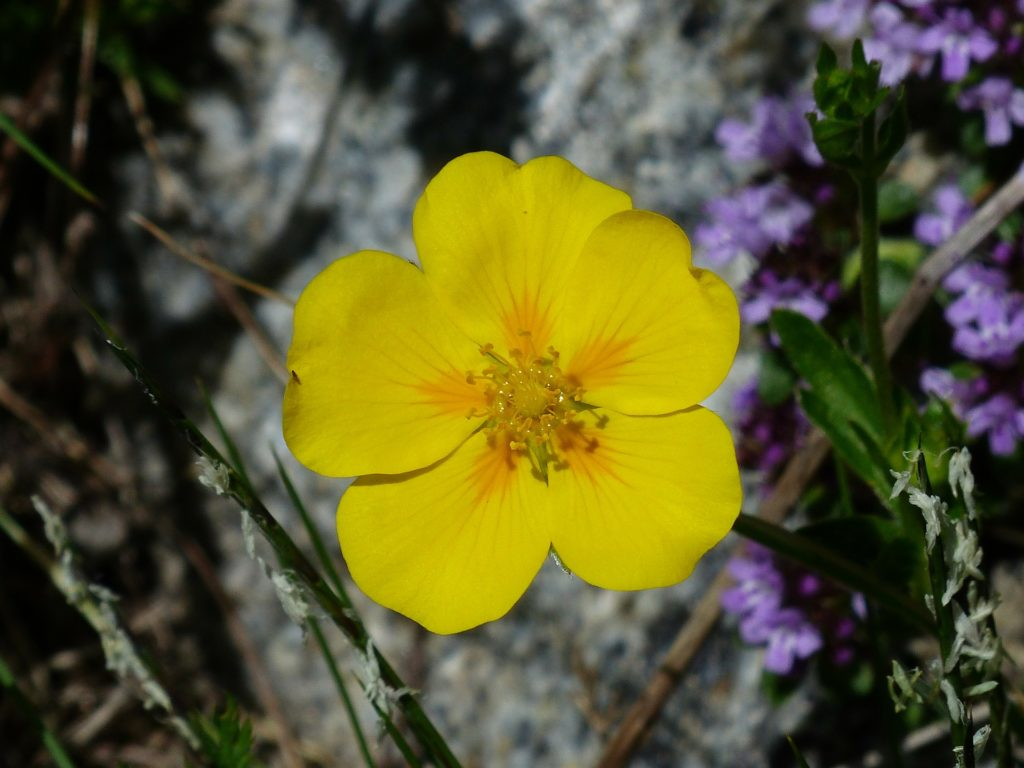 hélianthème fleurs de bach