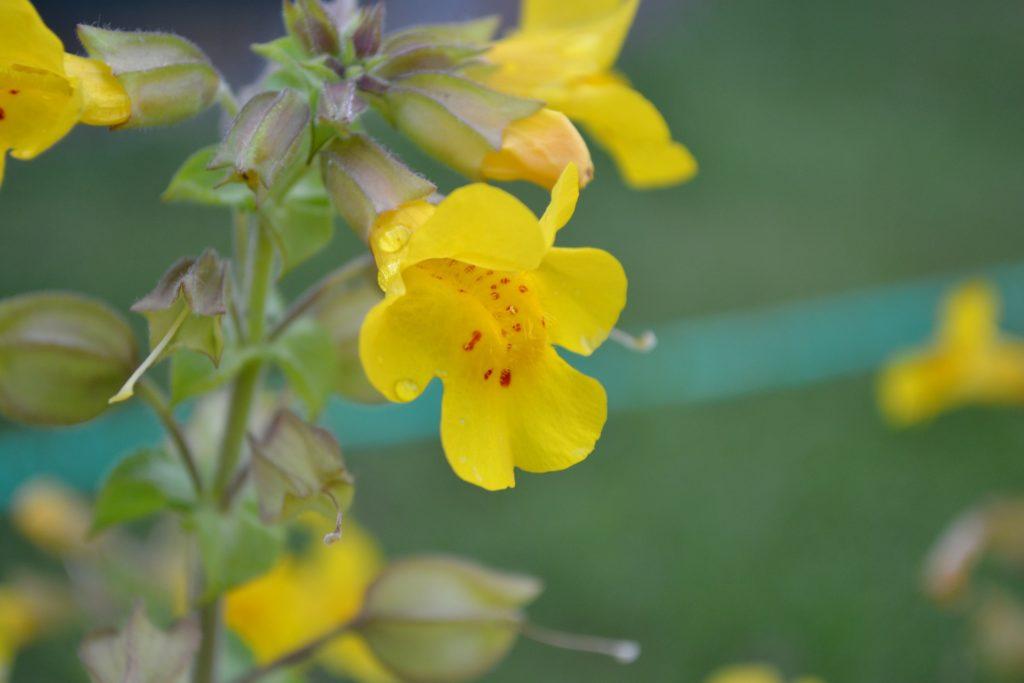 fleurs de bach pour surmonter les peurs