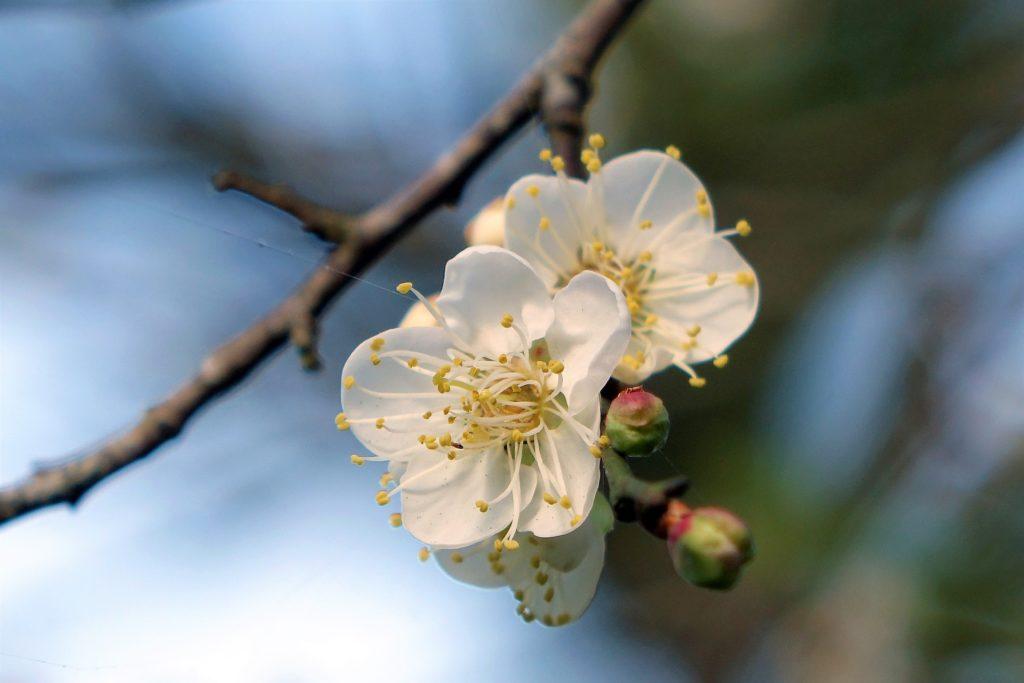 cherry plum fleurs de bach